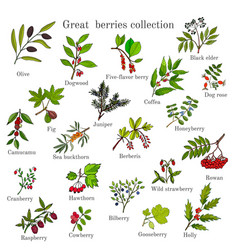 vintage collection of hand drawn berries plants vector image
