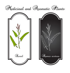 Common sorrel rumex acetosa garden plant vector