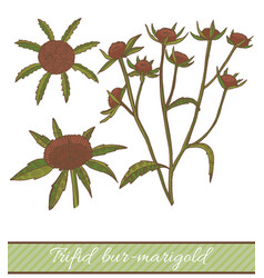 Colored trifid bur-marigold in hand drawn style vector
