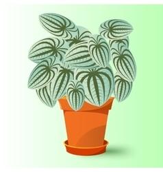 peperomia marmorata plant in a pot vector image vector image