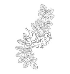 drawing branch rowan tree vector image
