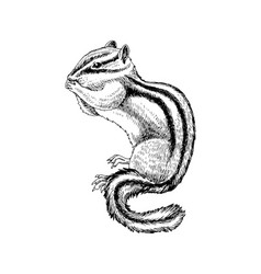 hand drawn chipmunk vector image