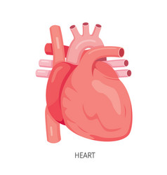 heart human internal organ diagram vector image vector image