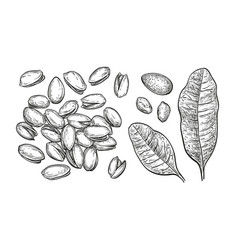 Pistachio nuts set vector