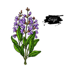 sage drawing bunch isolated plant with vector image