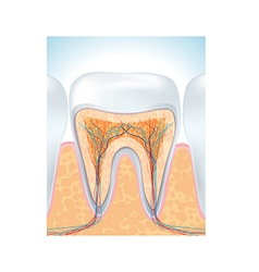 tooth root vector image