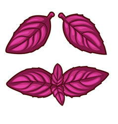 Fresh red basil herb leaves isolated on white vector