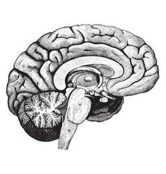 Left half of the brain vintage vector
