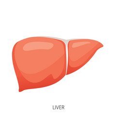 liver human internal organ diagram vector image