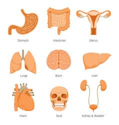 Human internal organs objects icons set vector