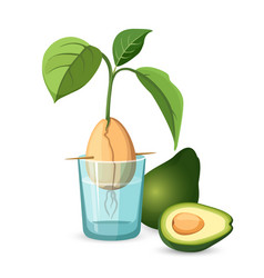 avocado growing bone stem and leaves in glass of vector image vector image