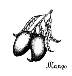 Hand drawn mango branch with leafs Sketch style vector image