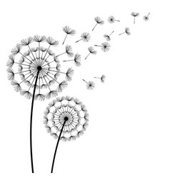 Black dandelion with flying fluff on white vector