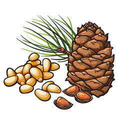 Pine nuts and cone isolated on white background vector