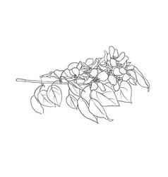 branch blooming apple tree vector image