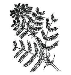 acacia vector image vector image
