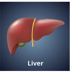 Realistic human liver isolated on dark gray vector