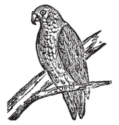 Parrot vintage vector