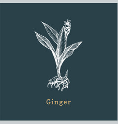 ginger sketch drawn spice herb in vector image