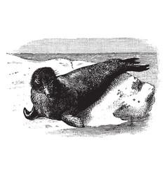 Elephant seal on a rock vintage vector
