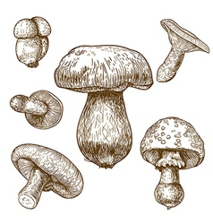 engraving mushrooms vector image