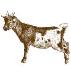 engraving antique goatling kid vector image