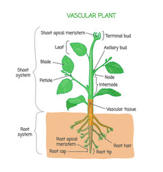 Vascular plant biological structure diagram vector