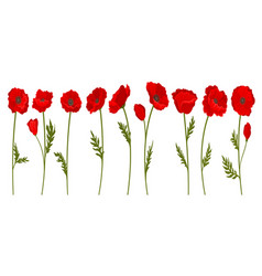 collection of bright blooming red poppy flowers vector image