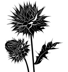 milk thistle thistle flowers isolated on white bac vector image