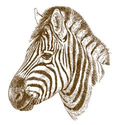 engraving of zebra head vector image