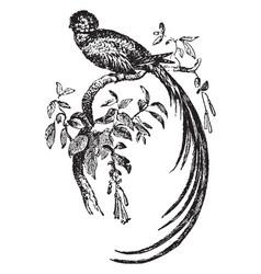 Quezal bird vintage vector