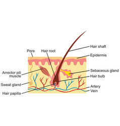 hair and human skin anatomy vector image