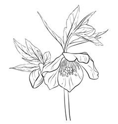 Drawing flower of hellebore vector