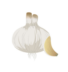 Fresh garlic natural vegetable nutrition vector