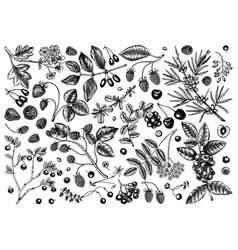 Hand drawn berries sketches in engraved style vector