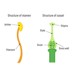 Structure stamen and carpel flower part vector