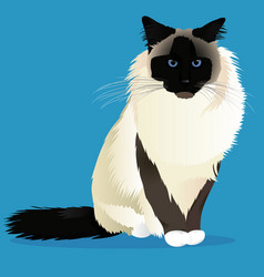 Birman cat breed vector