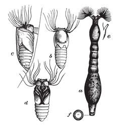 Fish killing buffalo gnat larva vintage vector