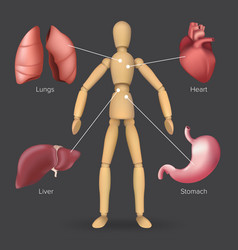 infographic with human internal organs heart vector image