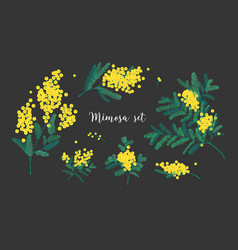 Collection of mimosa branches with blooming yellow vector