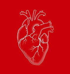 heart the internal human organ anatomical vector image