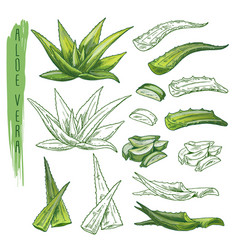 aloe vera plant sketches herb leaf nature flora vector image