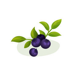 blueberries with green leaves natural fresh food vector image