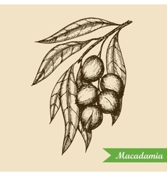 Macadamia nut branch Hand drawn engraved vector image