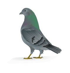 Beautiful breeding bird Carrier pigeon vector