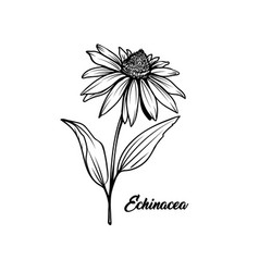 echinacea flower hand drawn vector image