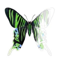 Butterfly Urania Leilus vector image vector image