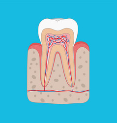 Healthy tooth diagram tooth cross section and vector