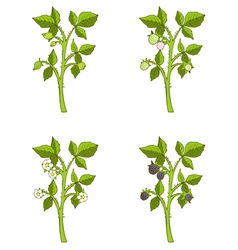 Blackberry growth phases vector image