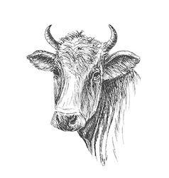 Face of cow hand drawn on white background vector